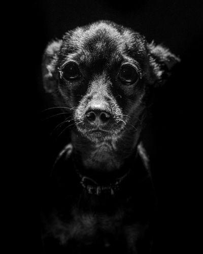 Small dog always be small EyeEmNewHere Dog Russiantoyterrier Moody Bnw EyeEm Selects Bnw_collection Bnwmood My Dog Portrait Portrait Dog Dramatic Portrait