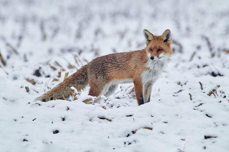 Portrait of snow fox during winter