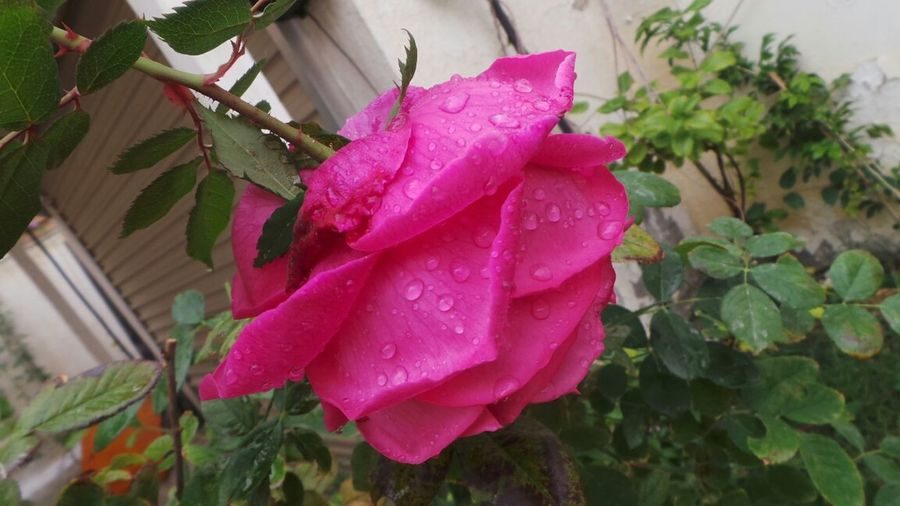 Rosé Filterless Raindrops