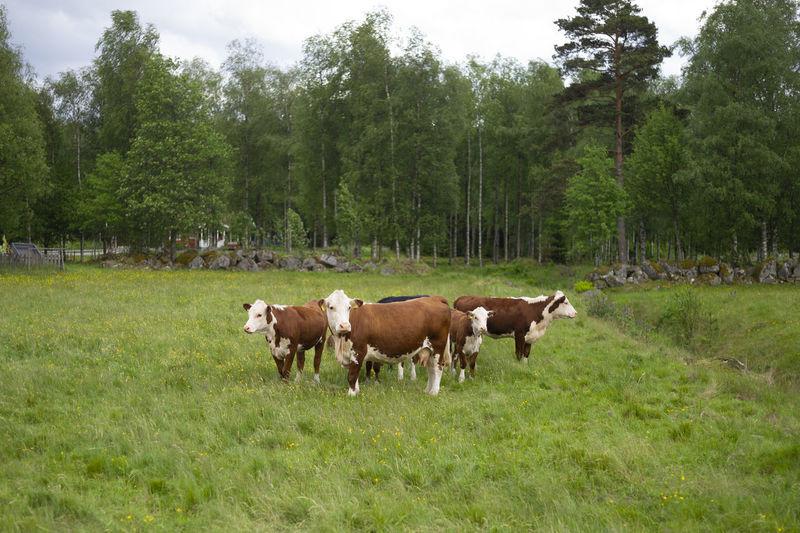 Cows in Sweden