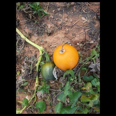Drumhellersorchard Appleorchard Apple Samsung galaxy phone camera instagram pumpkin