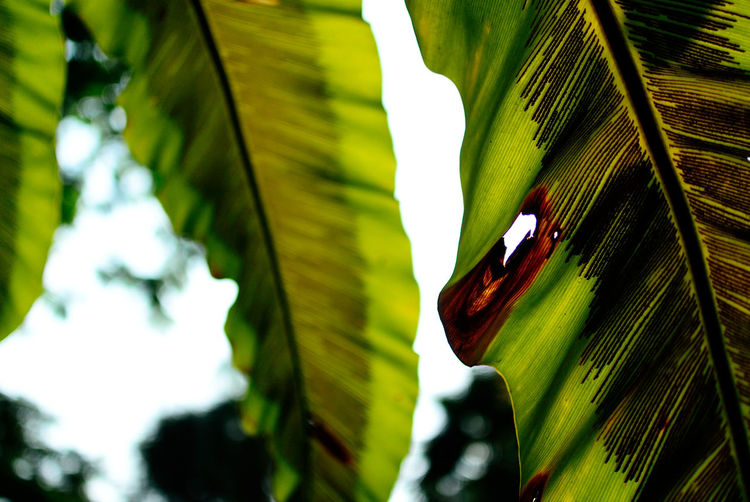 Close-up of hole in green banana leaf