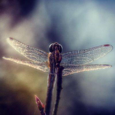 Libelle Dragonfly Naarden