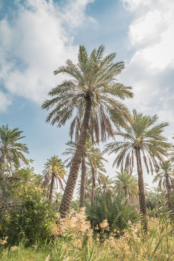 Palm Tree Bahrain Sky Scenics - Nature Tranquility Tranquil Scene Nature Outdoors Land Date Palm Tree Day Non-urban Scene No People Tall - High Cloud - Sky Beauty In Nature Tree Low Angle View Tropical Climate Tropical Tree Plant Growth Coconut Palm Tree Arid Climate
