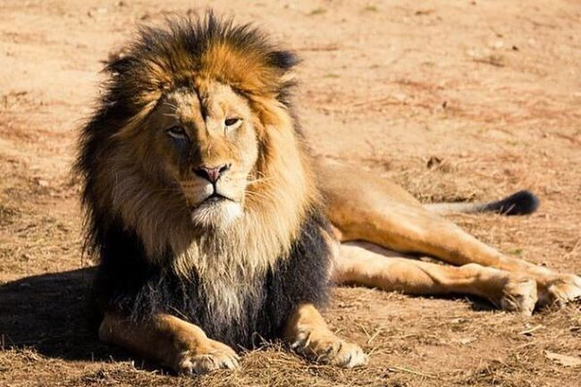 Lion Kingofthejungle Cat Leo Fierce Fiercefelines