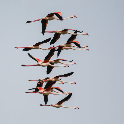 Low angle view of flamingos flying against sky