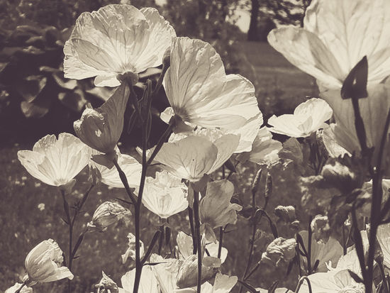 Beauty In Nature Black & White Black And White Close-up Flower Garden Flowering Plant Flowers Nature Sunlight Tall Flowers