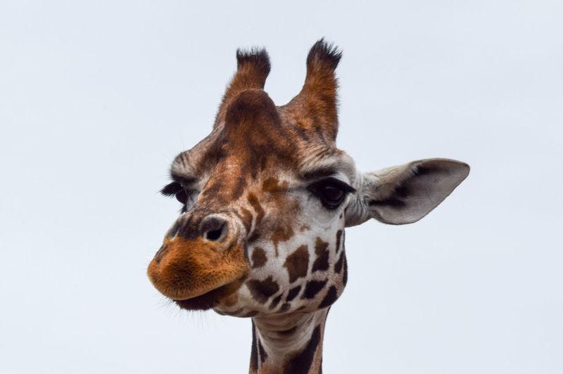 Close-up of giraffe against clear sky
