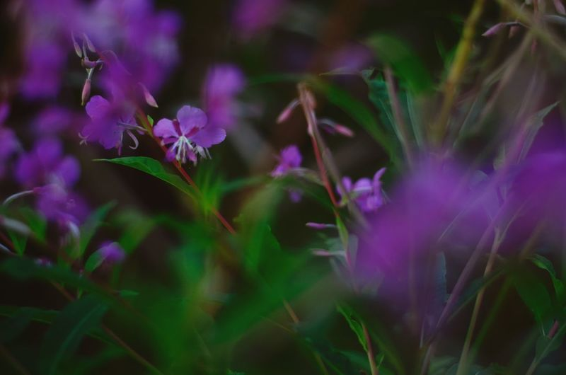 No People EyeEm Nature Lover EyeEm Best Edits Plant Flower Beauty In Nature Flowering Plant Growth Close-up Freshness Plant Part Selective Focus Purple Green Color Botany Nature Petal Fragility Vulnerability  Pink Color Inflorescence Outdoors No People