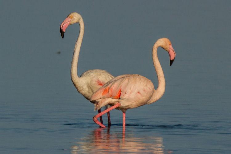 Flamingos drinking water in lake