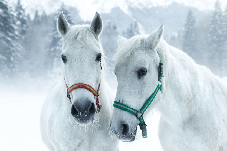 Horses standing in forest during winter