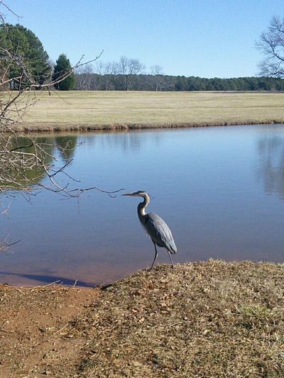 Great Blue Heron Landscape Water Discover Your City Spartanburg Milliken