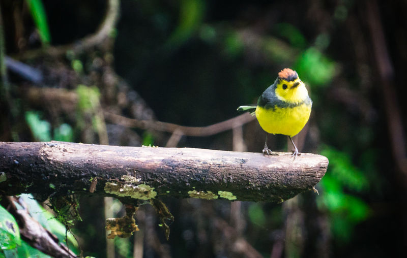 A yellow bird on a branch. Animal Themes Animal Wildlife Animals In The Wild Beauty In Nature Bird Close-up Day Focus On Foreground Nature No People One Animal Outdoors Perching