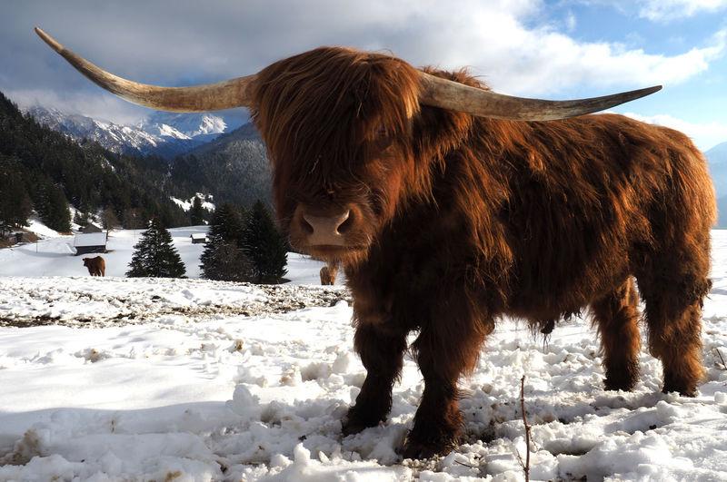 Bull Standing On Snow Field Against Sky
