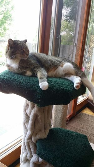 Stell on her new cat tree. Relaxing