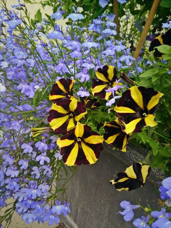 Flowers Petunias Petunien Black And Yellow  Blue Summer Flowers Sommerblumen Blumentopf