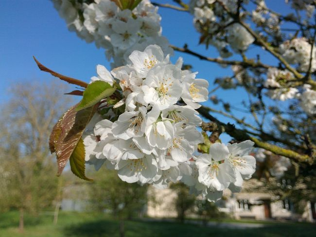 My Weekend In Spring Cherry Flowers Beautiful Day Shining Sun Fragile Beauty