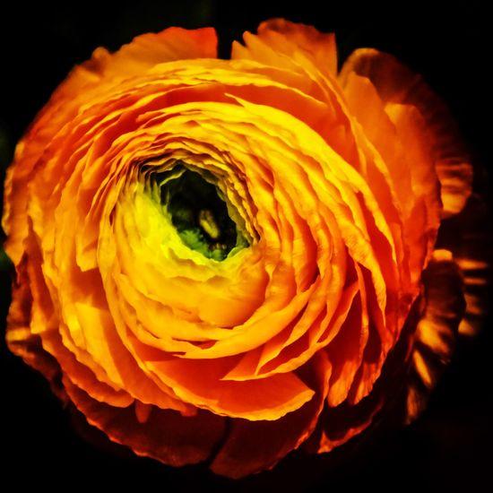 Flower Head Flower Petal Single Flower Blossom Nature Close-up Orange Color Botany