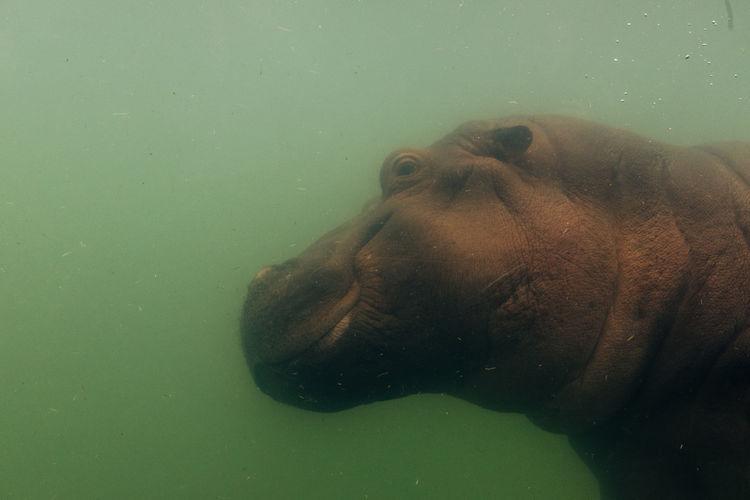 Close-up of hippopotamus swimming in water