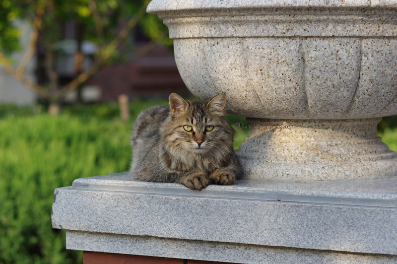 Portrait of maine coon cat sitting by decoration