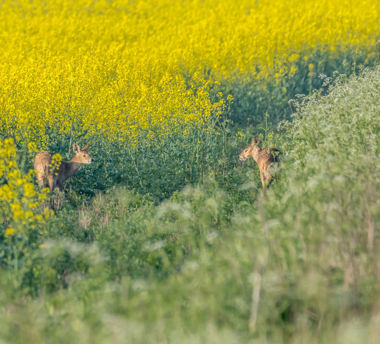 animal, animal themes, animal wildlife, plant, mammal, animals in the wild, nature, yellow, environment, beauty in nature, scenics - nature, one animal, no people, landscape, field, day, agriculture, vertebrate, grass, land, outdoors