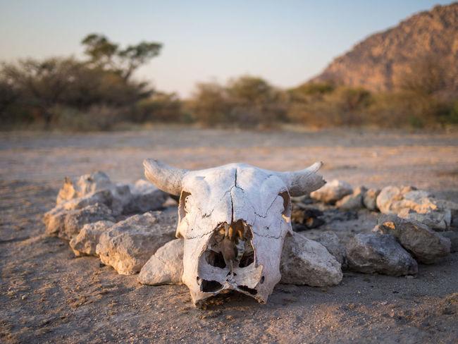 Animal Bone Animal Skeleton Animal Skull Bone  Close-up Day Nature No People Outdoors Skeleton Skull