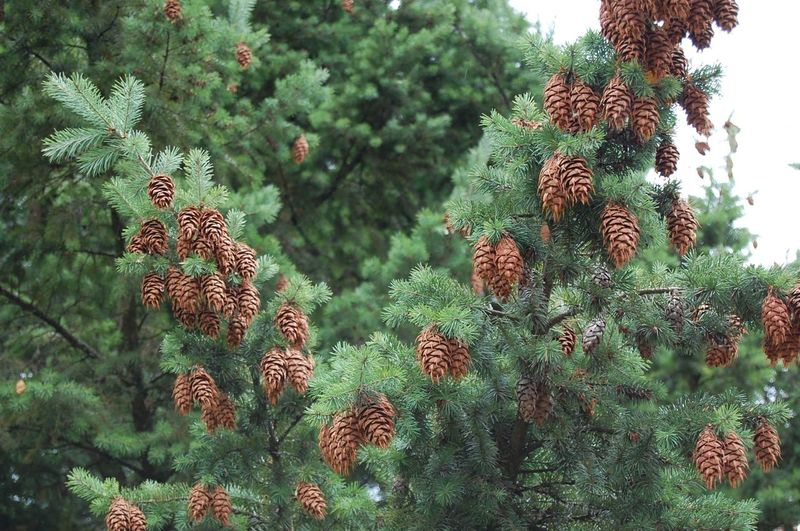 Low Angle View Of Pine Cones Growing On Tree