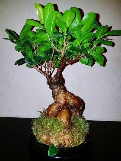 TreePorn Tree Trunk Bonsai Tree Nature Tree