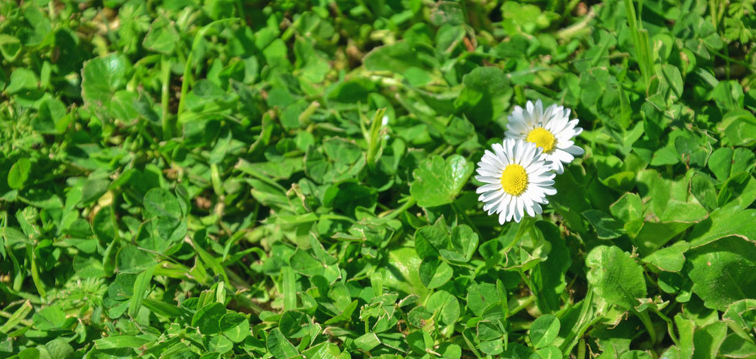 Daisies in the grass. Margherite nell'erba. Grassygreen Nature_collection Backgrounds Beauty In Nature Blooming Field Flower Flower Head Fragility Freshness Green Green Color Growth High Angle View In Bloom Leaf Nature Outdoors Pattern Pattern, Texture, Shape And Form Petal Plant Textured  Textures And Surfaces White Color