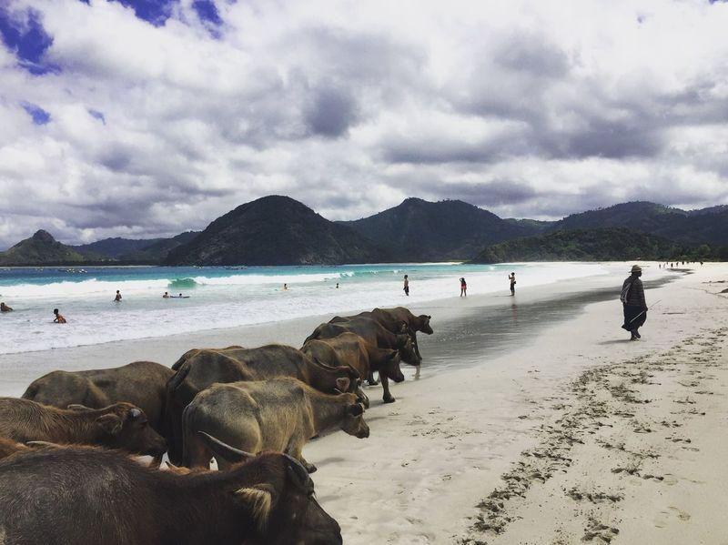 Buffaloes. Selong Belanak beach. Lombok Lombok-Indonesia INDONESIA Indonesia_photography Beach Buffaloes Selong Belanak, Lombok Selongbelanak EyEmNewHere IPhoneography IPhone