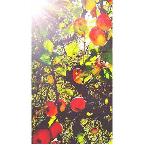 an apple a day keeps the doctor away🍎🍎 Meinenglishistsehrgut Oderauchnicht😂 ISS Ei einenApfel Beimpflucken Fotografiert Sonne Magstduäpfel Huaweishot Lastjear Imherbst Stayseksi Keativ Ende