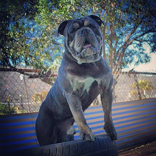 Our blue trindle stud, One of a Kind's Django Unchained. Oneofakindbulldogs Oldeenglishbulldogges Oldeenglishbulldogge Oldenglishbulldogs victorianbulldogs oeb bulldogs bulldog premierbreeder bulldogges studdog keepitbully californiadreamin socal sandiego sd showoff