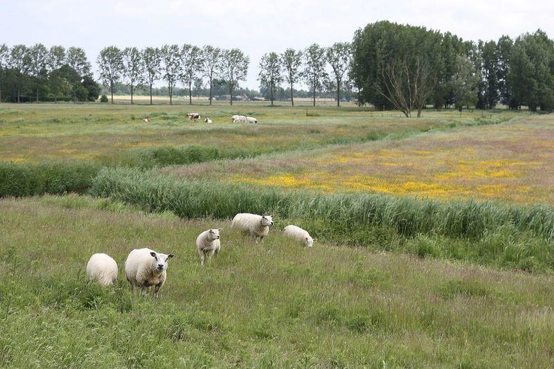 Getting bored already? Countryside Sheep@Work