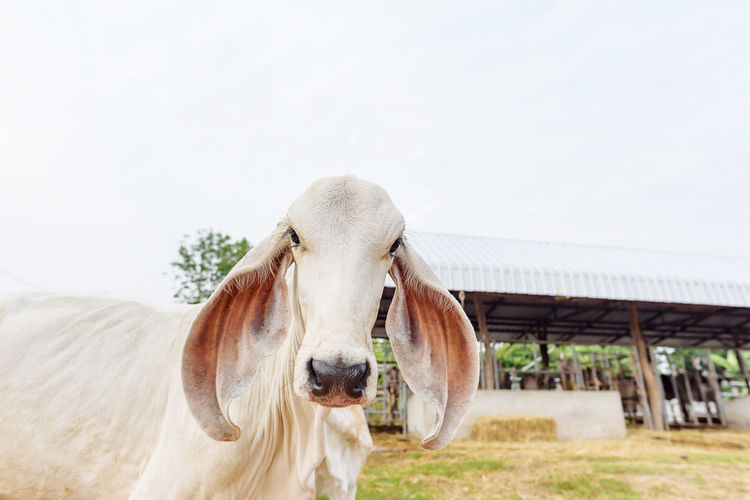 Calf Domestic Animals Domestic Mammal Animal Themes Animal Pets Livestock One Animal Vertebrate Sky Day Portrait No People Nature Cattle Field Looking At Camera Landscape Land Cow Outdoors Herbivorous Animal Head  Pasture Farm Ranch Calf