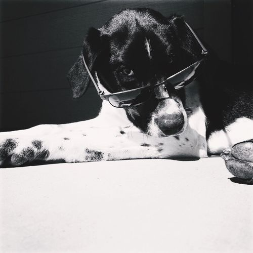 Style. Dogs Pets Cute Sunglasses Funny