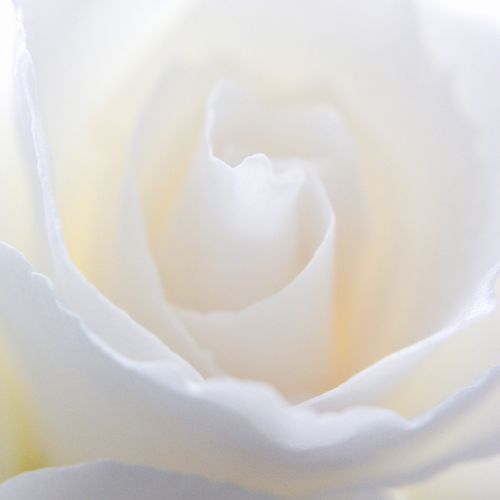Ladyphotographerofthemonth IPS2016White IPhoneography Fine Art Photography Roses Studies Of Whiteness White Rose Macro_collection EyeEm Nature Lover EyeEm Best Shots - Flowers Maximum Closeness
