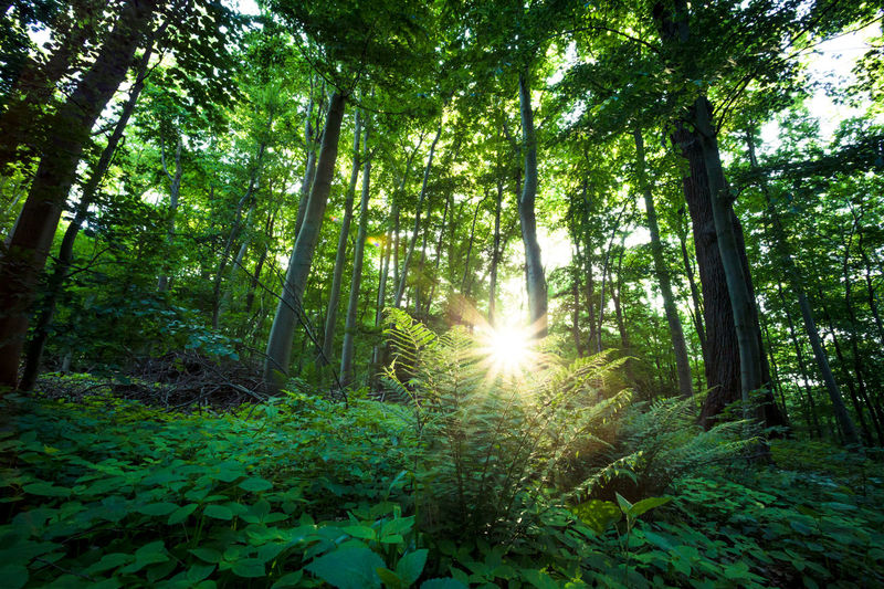 fresh morning sun Beauty In Nature Day Forest Green Color Growth Landscape Leaf Lens Flare Low Angle View Lush Foliage Nature No People Outdoors Plant Scenics Sky Sun Sunbeam Sunlight Tranquil Scene Tranquility Tree Tree Trunk WoodLand