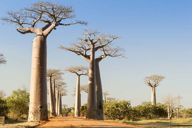 The famous baobab Alley in Madagascar Antsiranana Baobab Baobab Tree Bare Tree Beauty In Nature Branch Clear Sky Day Lone Madagascar  Nature No People Outdoors Scenics Sky Tranquil Scene Tranquility Tree Tree Trunk