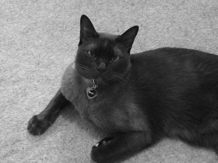 Black Cat Cute Pets Cute Cats Blackandwhite The Purist (no Edit, No Filter) Pets Burmese Cat