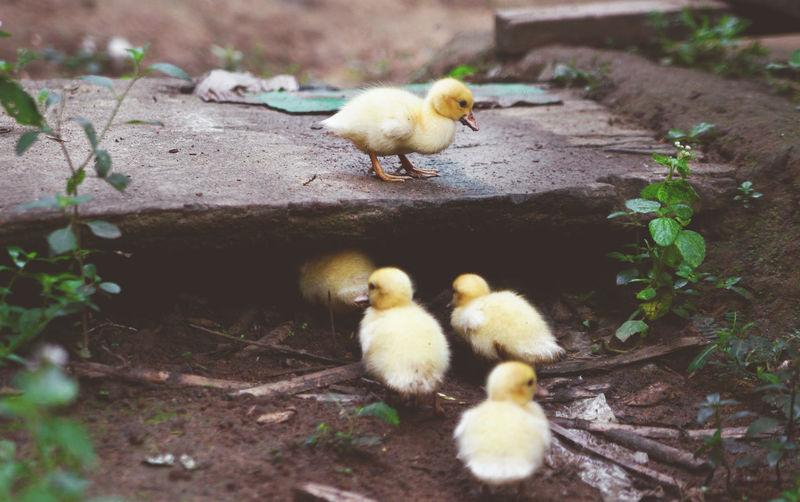 Ducklings on field