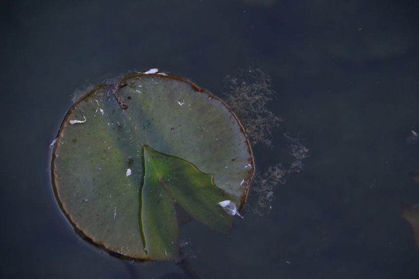 Floating On Water Social Issues Water No People Leaf Nature Close-up Day Outdoors Freshness Flower Beauty In Nature Ninphea