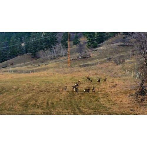 A little herd of deer MerrittBC Spencesbridgebc Deer Herdofdeer wildlife ilovenature field