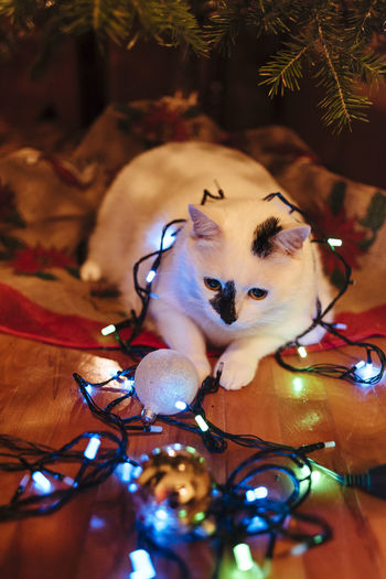 Holiday Moments Domestic Mammal Christmas Pets Domestic Animals Decoration Animal Themes Illuminated One Animal Holiday Christmas Lights Christmas Decoration Animal Celebration Vertebrate Indoors  Lighting Equipment Tree Christmas Ornament No People Light