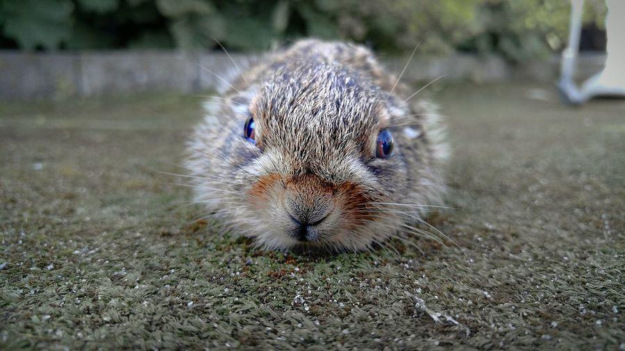 Close-Up Portrait Of Rabbit Lying Down