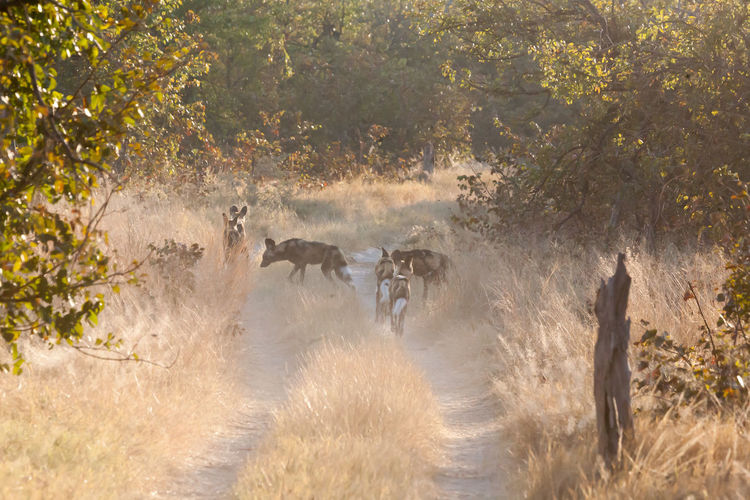 African Wild Dogs On Footpath