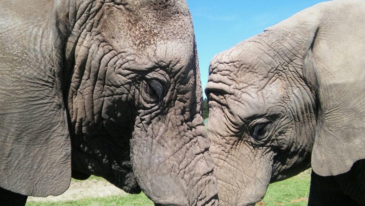 elephant, animals in the wild, day, animal wildlife, no people, animal themes, outdoors, one animal, grass, close-up, african elephant, mammal, nature, safari animals, tusk, animal trunk