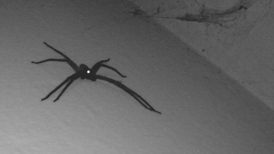 Araña Miedo :/