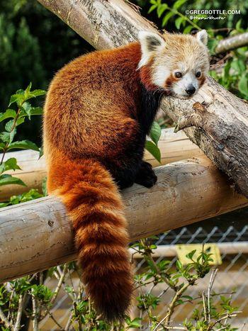 Red Panda Wingham Wildlife Park Wildlife Animals