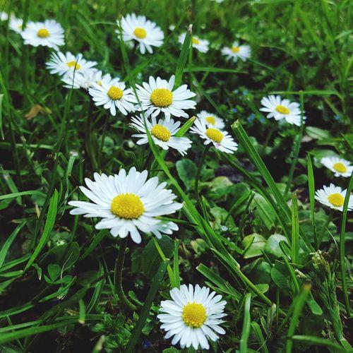 Gänseblümchen Flower