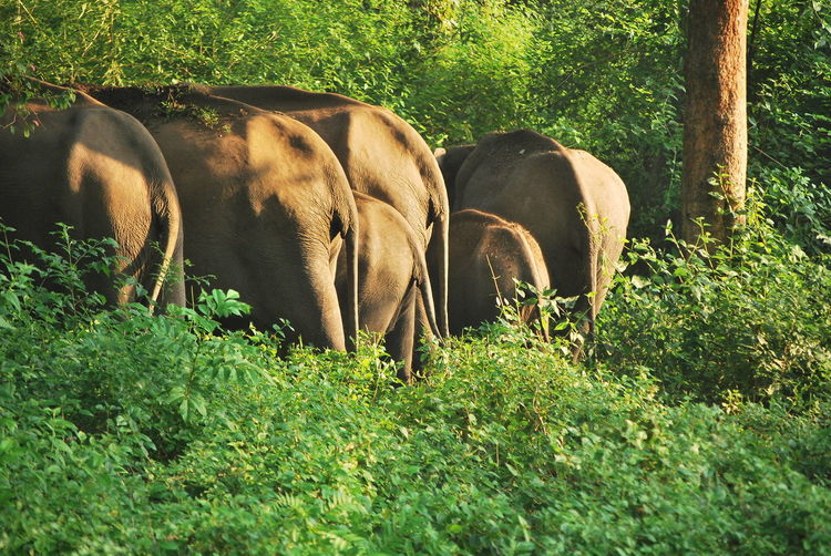 Animal Themes Bandipur Beauty In Nature Elephant Elephants Back Forest Grass Incredible India India Nature Plant Sunlight Tree
